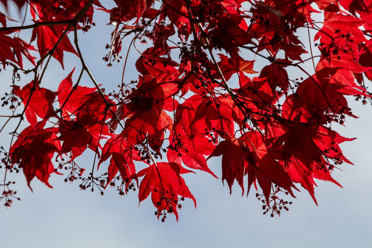 Low angle view of japanese maple leaves on twigs against sky during autumn