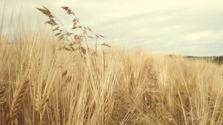 Crop in field