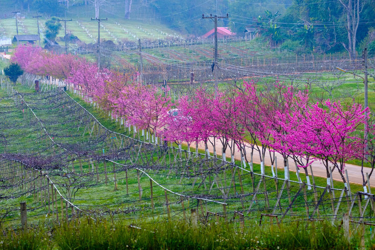 Plant Beauty In Nature Landscape Growth Tree Tranquility Tranquil Scene Environment Land Nature Scenics - Nature Field Flower Rural Scene Flowering Plant Day Pink Color Agriculture No People Idyllic Purple Outdoors Springtime Plantation