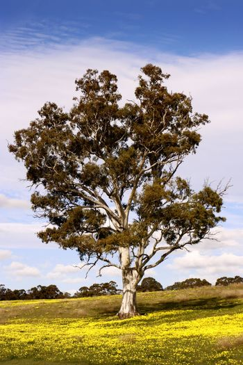 Springtime in the Barossa Valley South Australia Australian Landscape Gum Tree Beauty In Nature Cloud - Sky Day Environment Field Grass Growth Isolated Land Landscape Nature No People Non-urban Scene Outdoors Plant Rural Landscape Scenics - Nature Single Tree Sky Springtime Tranquil Scene Tranquility Tree