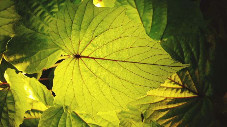 Leaf Nature Green Color Plant Outdoors Close-up Growth Beauty In Nature No People Beauty Fragility Lighted Light In The Darkness Light And Shadows Light Effect Light And Darkness