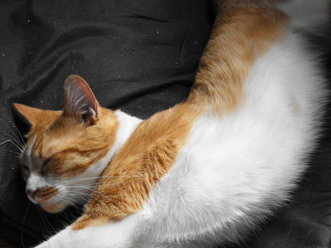 Gato Dormilon Duerme Estiramiento Love ♥ Pets Feline Domestic Cat Siamese Cat Portrait Whisker Close-up Stray Animal Cat Tabby Cat Ginger Cat Domestic Animals At Home Pet Bed Sleepy Tabby Yellow Eyes Animal Eye
