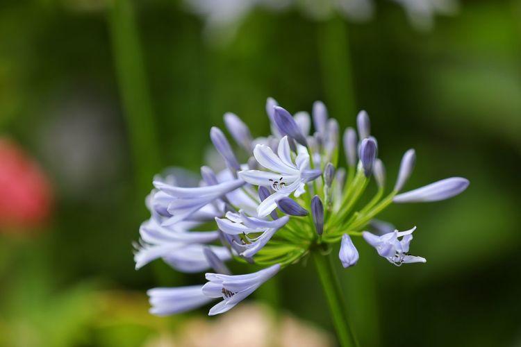 너는 한송이니 한다발이니? - 아가판서스 . . #하루한컷 #아가판서스 #가마쿠라 #5DMARK4 #새아빠백통 #EF70200F28LIIISUSM Flower Head Flower Defocused Petal Purple Close-up Plant Green Color Grass