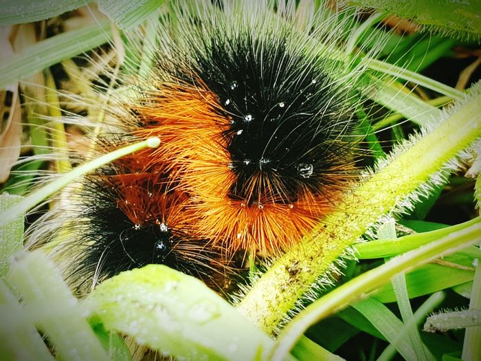 Scottish bear caterpillar Taking Pictures Taking Photos Caterpillar Bugs Bugs Life colour of life Colours Of Nature Vibrant Color Caterpillars  Hairy  Spiny Nature_collection Nature Photography Nature Nature_collection Nature On Your Doorstep Flower Close-up Plant