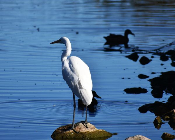 Cattle Egret Animals In The Wild Egret Lake No People One Animal Perching White Color