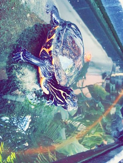 Ma tortue bien aimé , tueuse de poisson 🐢💪 Turtle Love Athome  974 Reunion Island Francklin 3ans Cheese! By Samsung Galaxy Note2 Beautiful Nature CoolPixDay