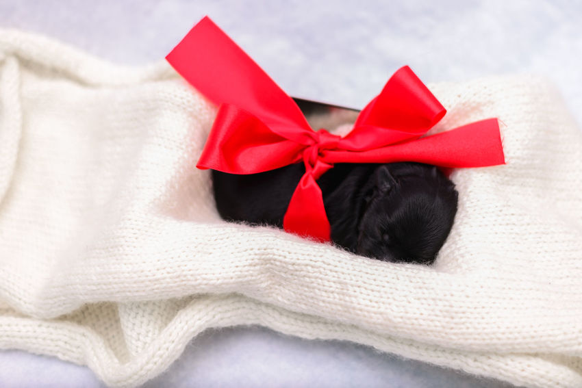 Border collie puppies Bow Dogs Love Animal Animals Black Blackandwhite Bow Box Box - Container Celebration Christmas Close-up Clothing Dog Emotion Gift Holiday Indoor Indoors  Luna Newborn No People Puppies Puppy Red Ribbon Ribbon - Sewing Item Small Still Life Studio Shot Surprise Sweets Textile Tied Bow Warm Clothing White Background Wrapped