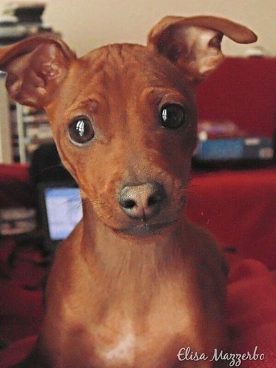 Dogs Pinscher Zwergpinscher My Dogs Are Cooler Than Your Kids