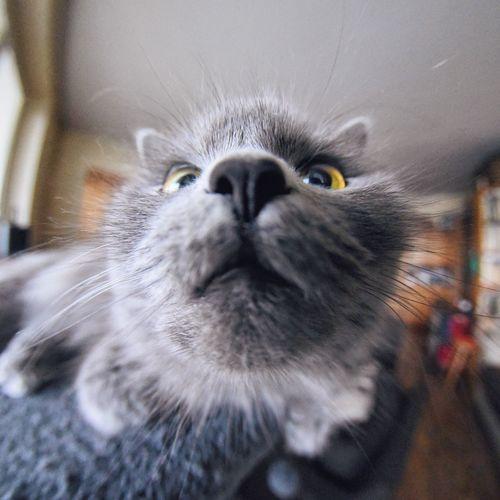 Cat Pet British Cat Longhair Distortion Fisheye Kitten EyeEm Selects EyeEm Best Shots Pet Portraits