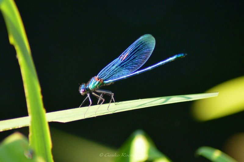 Dragonfly Weidebeekjuffer Juffer