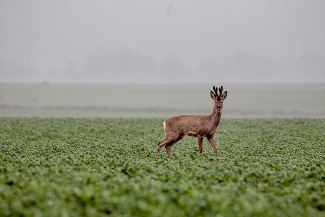 Deer Manual Photography Manual Lens Poland Is Beautiful Animal Wildlife Animals In The Wild Fog Nature No People One Animal Outdoors