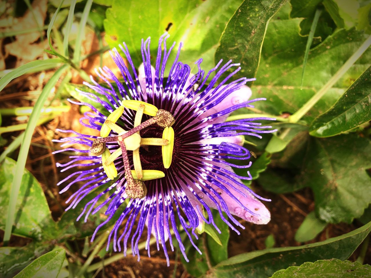 flower, flowering plant, plant, purple, growth, freshness, fragility, beauty in nature, vulnerability, flower head, inflorescence, close-up, petal, nature, passion flower, pollen, leaf, plant part, no people, outdoors