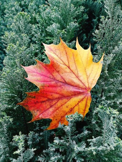 Leaf Autumn Change Nature Beauty In Nature Multi Colored Day Maple Leaf Outdoors No People Close-up Trapped