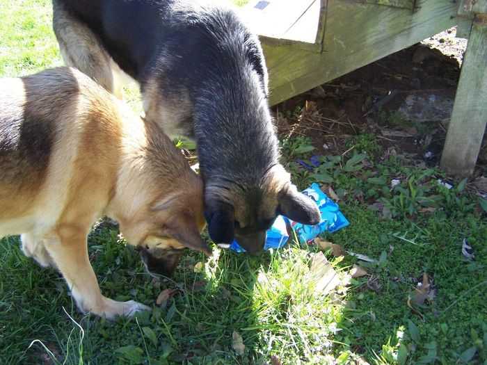 German Shepherds hunting bees together in early spring in Illinois Animal Themes Bee Hunting Day Dog Domestic Animals German Shepherd Dog  Grass Illinois Mammal Nature No People Outdoors Pets Springtime Togetherness
