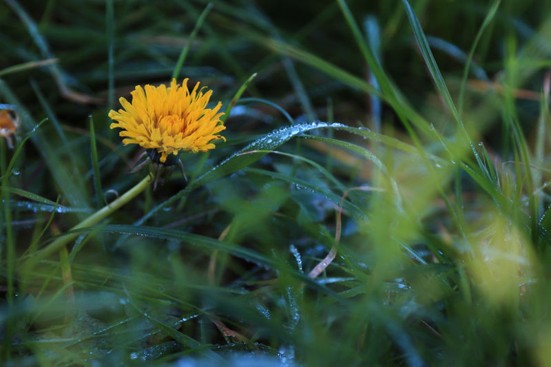 Blooming Close-up Day Dew Drops Flower Grass Growth Nature Petal Plant Selective Focus Springtime Yellow Yellow Flower