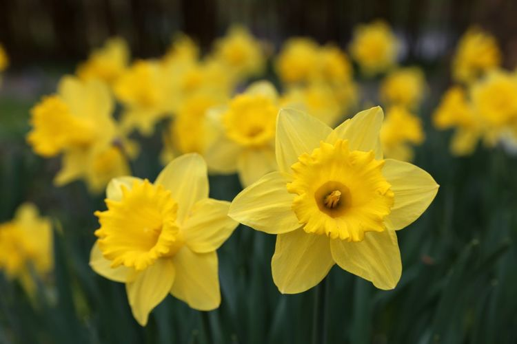 Daffodils Daffodils Flowers Daffodil Daffodil Bloom Spring Spring Meadow Spring Into Spring Yellow Osterglocken Osterglocke Narcissus Narcissus Flowers