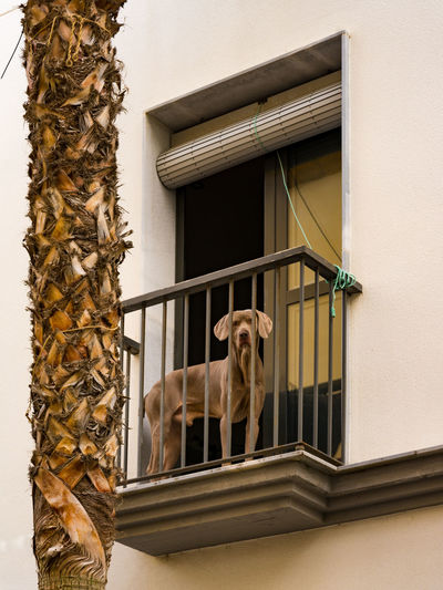 Curious dog on the balcony watching. Dog Watching Palm Tree Animal Animal Photography Animal Themes Architecture Balcony Building Building Exterior Built Structure Canine Day Dog Domestic Domestic Animals House Low Angle View Mammal No People One Animal Outdoors Pets Vertebrate Window Window Frame
