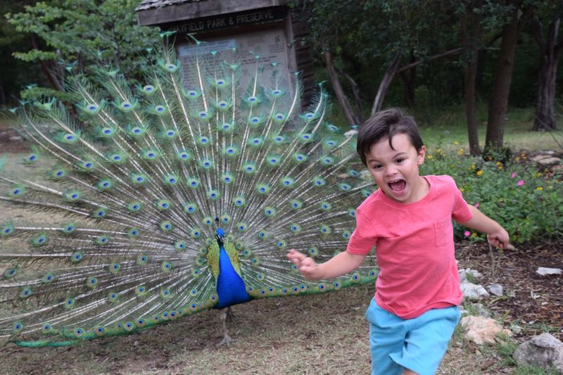 Peacock chasing little boy Peacock Peacock Feather Bird Fanned Out Feather  Showing One Animal Outdoors Casual Clothing Animal Themes Child One Person Day Happiness Nature The Graphic City