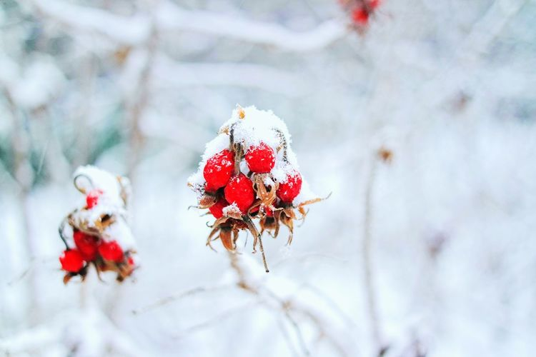 Close-up of snow on berries