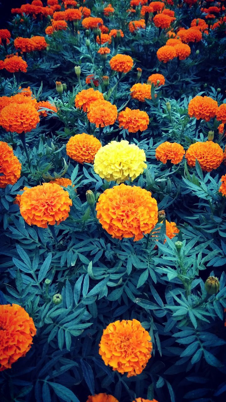 flower, flowering plant, freshness, vulnerability, fragility, petal, plant, beauty in nature, orange color, marigold, full frame, flower head, inflorescence, growth, no people, backgrounds, close-up, nature, botany, green color, outdoors, flowerbed