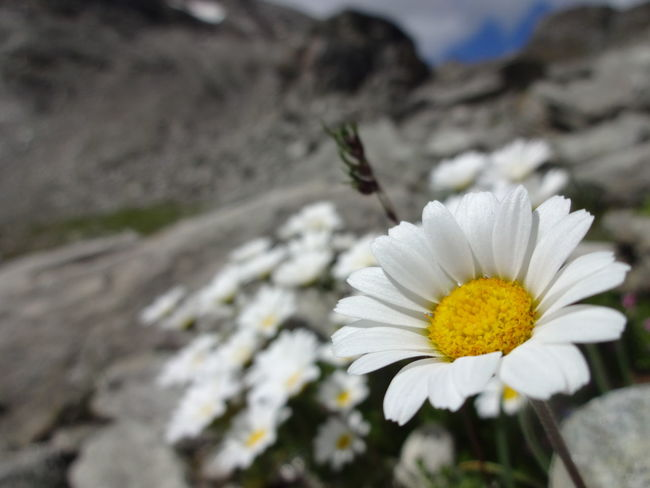 Beauty In Nature Bloom Blooming Blossom Close-up Contrast Daisy Day Flower Flower Head Focus Focus On Foreground Fragility Freshness Growth In Bloom Mountains Nature Outdoors Pollen Selective Focus Single Flower Springtime Tranquility White Color
