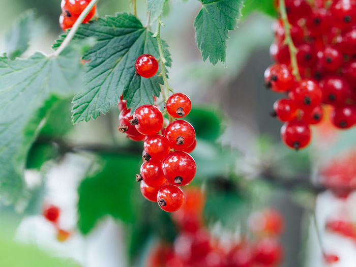 Close-Up Of Red Currants Growing On Plants