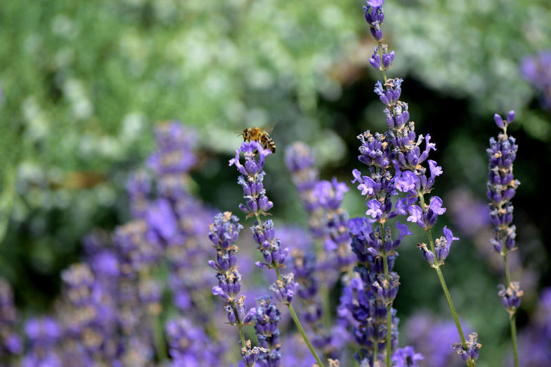 Bee on lavender flower at park