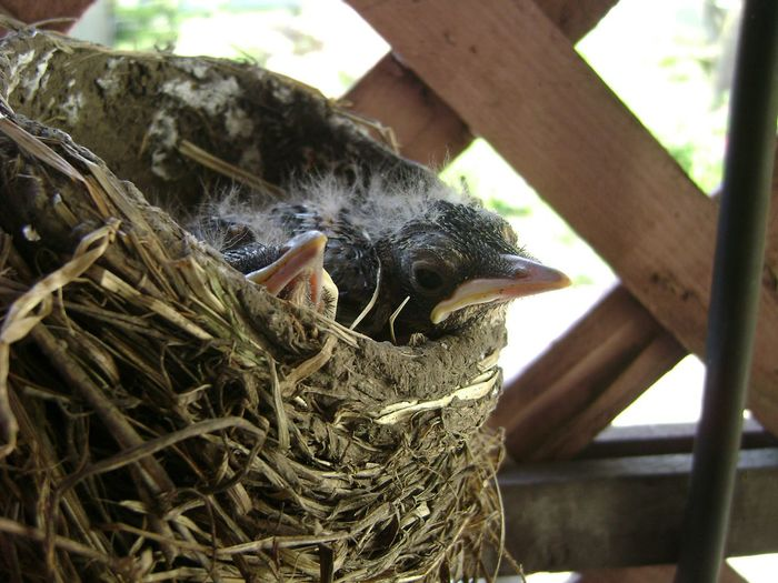 The Baby Robins Baby Birds Robins Nest NYC Wildlife Photography Birds