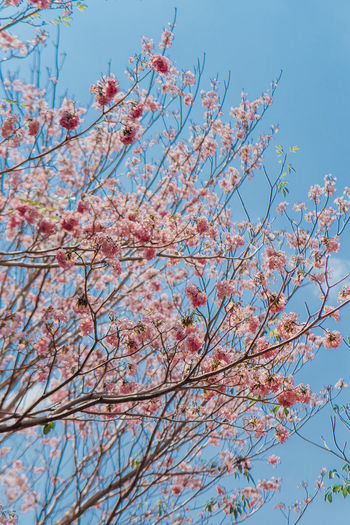 Tabebuia in Penang Tabebuia Tree Branch Plant Low Angle View Flower Nature Flowering Plant Growth Beauty In Nature No People Day Pink Color Clear Sky Blossom Springtime Blue Fragility Outdoors Tranquility Cherry Blossom Cherry Tree Spring Sakura
