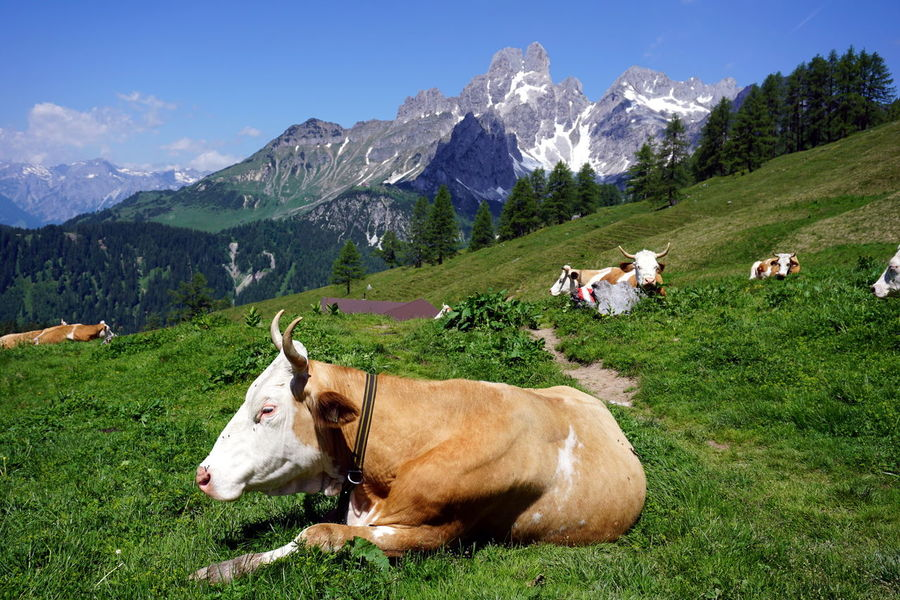 Alpine Alps Alps Austria Animal Themes Beauty In Nature Cattle Cow Day Domestic Animals Field Filzmoos Grass Grazing Green Color Landscape Livestock Mammal Mountain Mountain Range Nature No People Outdoors Scenics Sky Tranquility