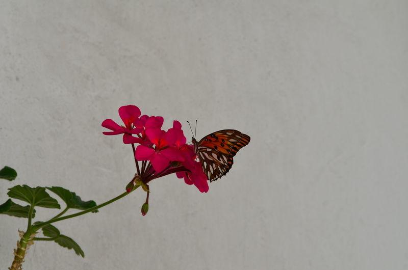 La Boca Malvón Mariposa En Mi Jardin