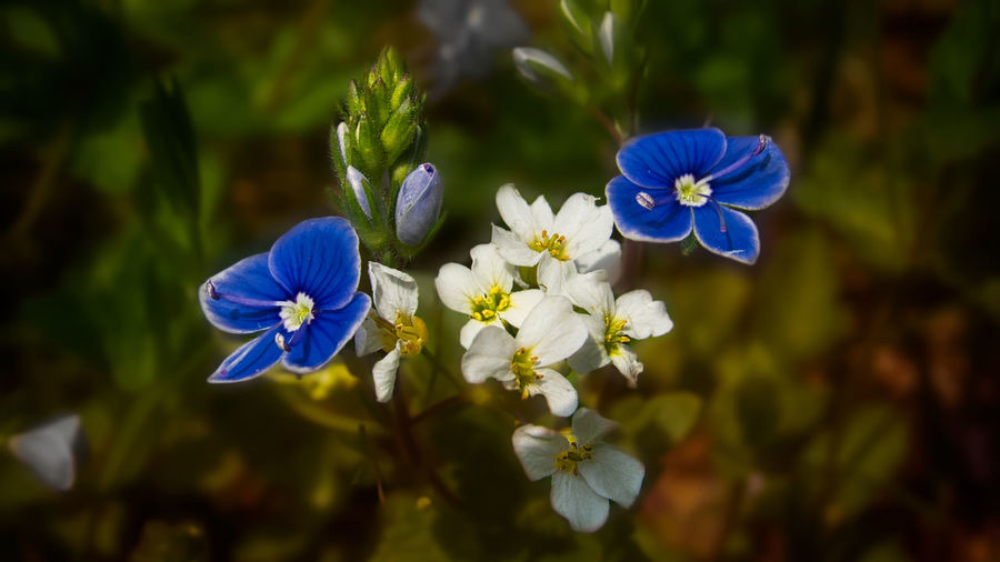 Close-up of blue flowering plant