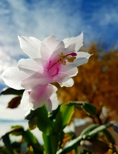 My Christmas cactus against the golden leaves of the tree outside of my window at work. Flower Petal Nature Plant Pink Color Fragility Beauty In Nature Flower Head No People Freshness Close-up Leaf Outdoors Growth Day Orchid Cameraphone Sky Christmas Cactus Flowers Winter Morning