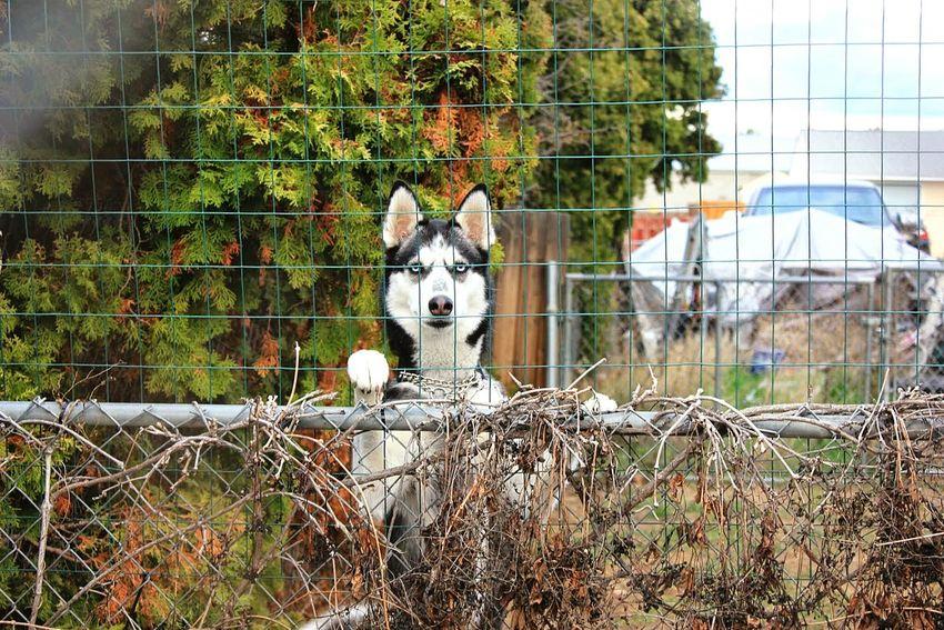 Husky Love Neighbors Dog Blue Eyes❤
