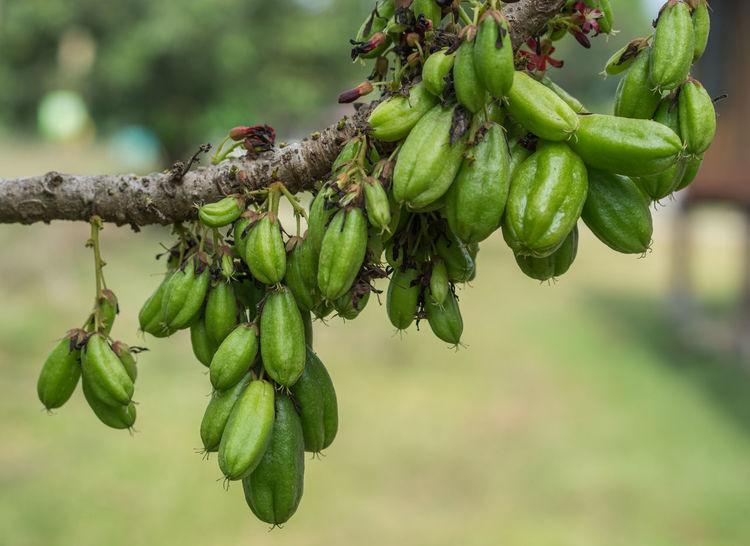 Fresh Bilimbi, Bilimbing, Cucumber (Averrhoa Bilimbi) fruits on tree ASIA Agriculture Averrhoa Bilimbi Bilimbing Raw Bilimbi Close-up Fruit Growth Organic Sour Tropical