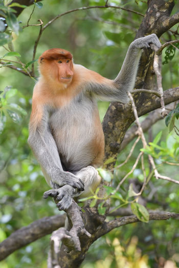 Proboscis Monkey Animal Wildlife Tree Sitting Nature Portrait No People Sabah Tourism Sabah Borneo Labuk Bay