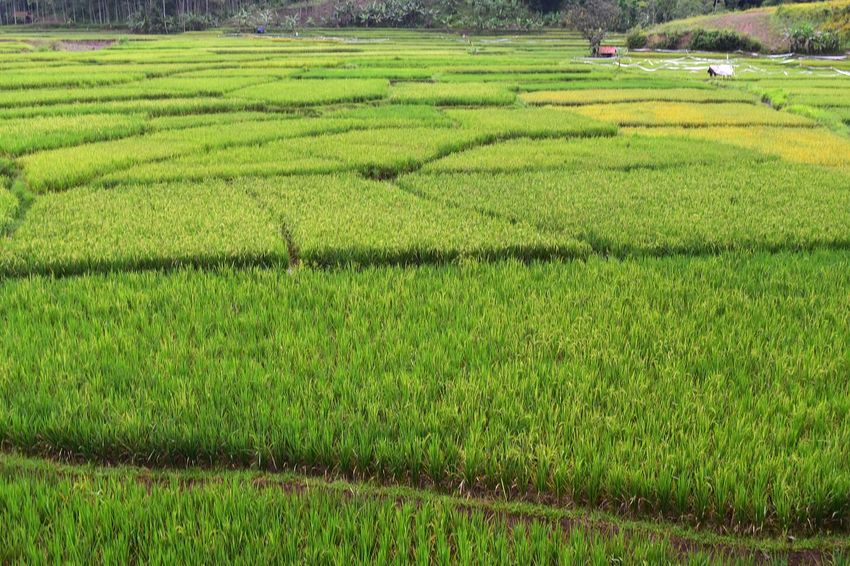 village Grass Alam Indonesia Indonesia_photography INDONESIA EyeEm EyeEm Best Shots EyeEm Gallery EyeEm Nature Lover Village Desa Hambalang Agriculture Field Green Color Farm Growth Nature Crop