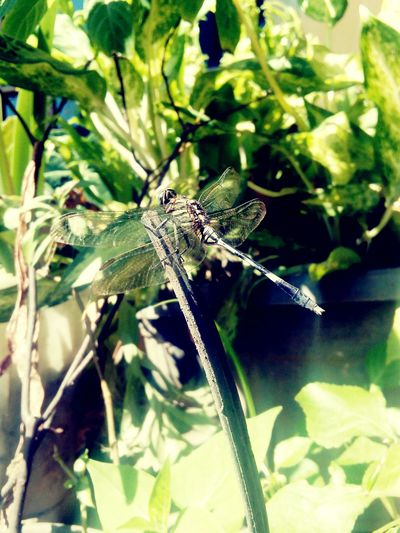 Dragonfly Nature Insects Nature Green Animal Themes Dragonfly Series Dragonfly💛