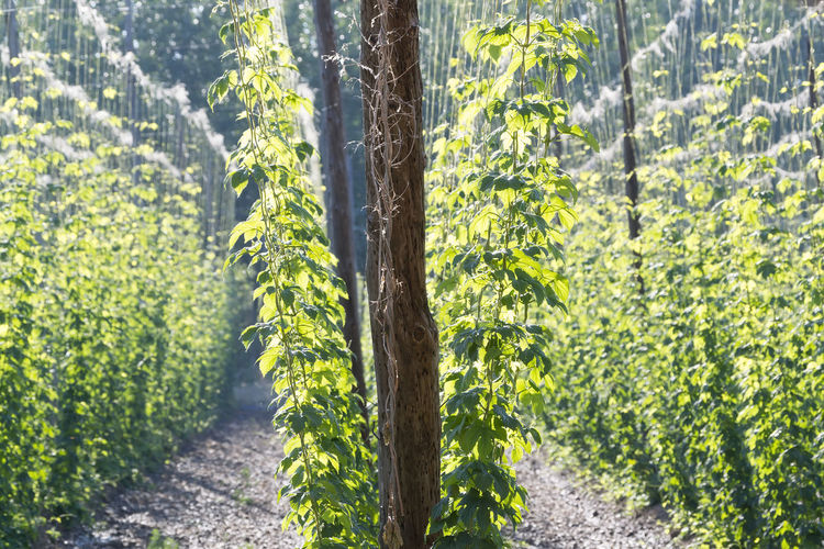 hop farm field with lupulus plants for make beer Hops Farm Field Beer Lupulus Brewery Botany Branch Drink Dry Green Growth Herb Ingredient Leaf Lager Leaves Nature Plant Sapphire Spruce Sprouts Taste Vegetable Twig