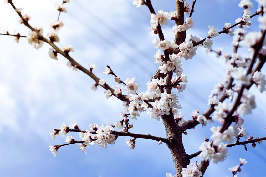 Apricot blossom, again. Naturelovers Nature Photography Nature_collection Nature My Favorite Photo April Apricot Apricot Tree Apricot Blossom ApricotBlossom Blossom Hugging A Tree Botanical Gardens Japanese Garden абрикос цветение абрикоса абрикосовое дерево сакура Sakura