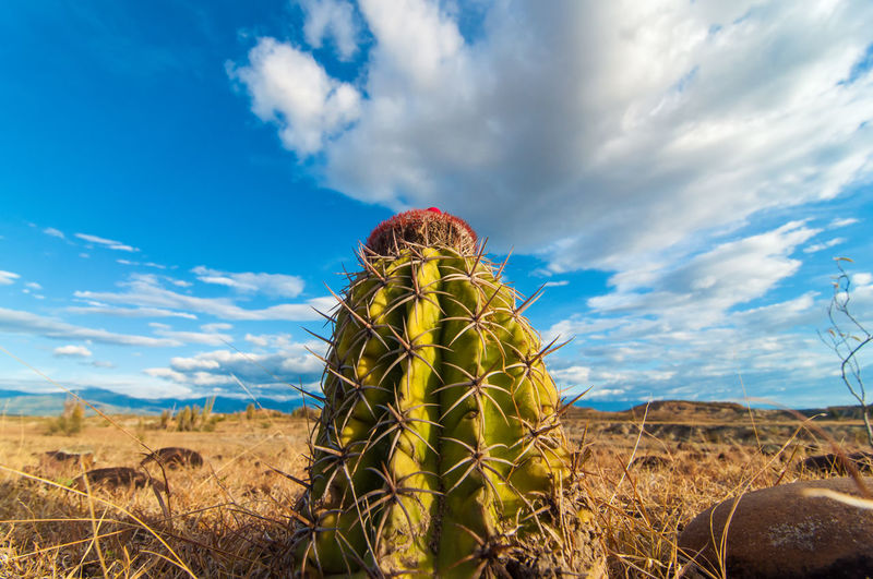 Low angle view of cactus growing at tatacoa desert against cloudy sky