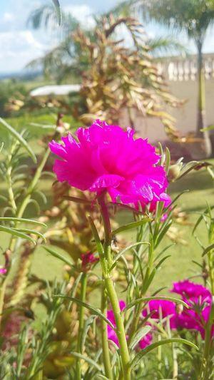 Flower Color Paisagem Indaiatuba Meulugar Mato Rosa Amô ChacaraPrimavera