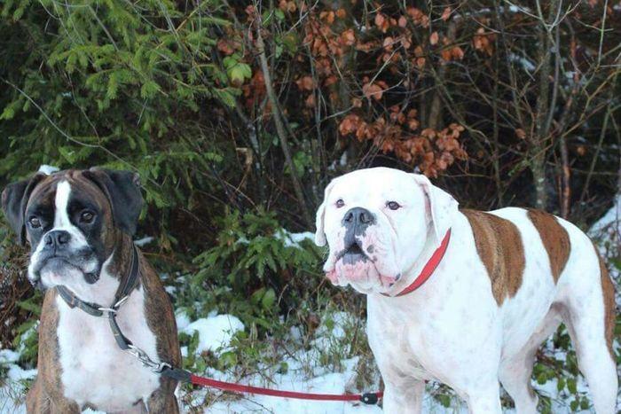 I Love My Dog❤ Boxer Dogs Dogslife Boxerworld BóxerWeekend
