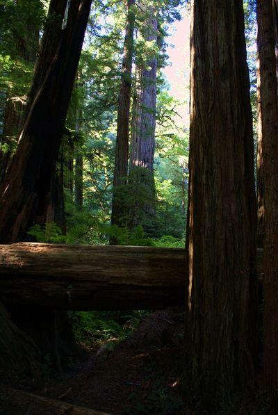 Redwoods California Redwoods Tree_collection  Giant Redwoods Treescollection California