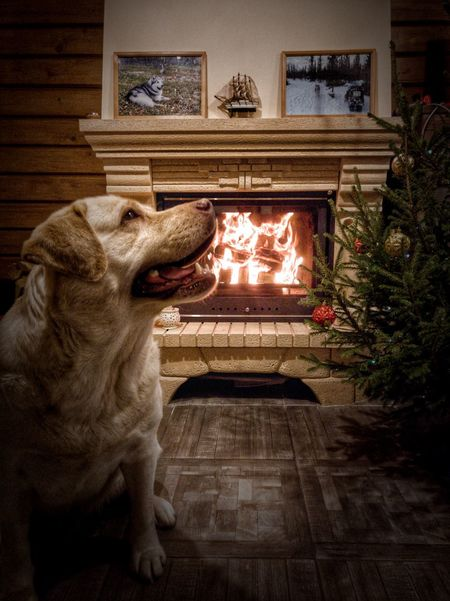 Happy New Year! EyeEmNewHere EyeEm Selects ель Россия Fireplace Fire Новый год Russia зима лабрадор Labrador Retriever Dog Dogs Animal Themes Pets Mood Atmospheric Mood Atmosphere Animal Representation Statue Indoors  Mouth Open Sculpture No People History