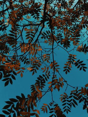 Tree Plant Leaf Plant Part Beauty In Nature Nature Sky Growth Day No People Outdoors Low Angle View Branch Tranquility Sunlight Blue Clear Sky Autumn Leaves Sunny
