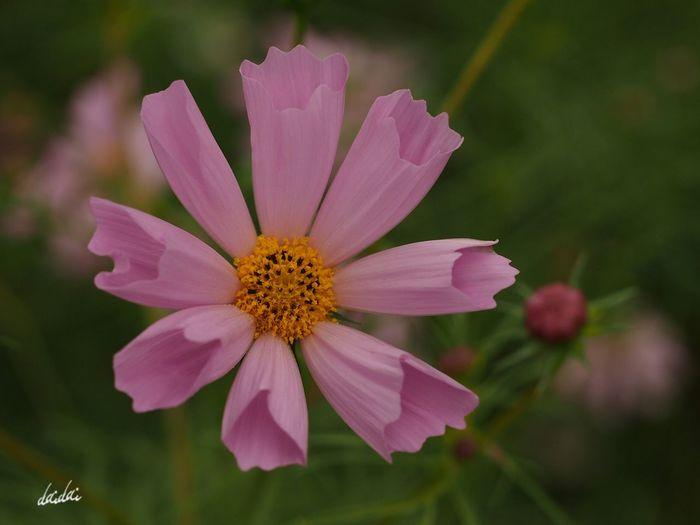 プリントを丸めて気になる子にちょっかい出してた幼さ E-PL3 Flower Cosmos コスモス シーシェル Pink Noedit
