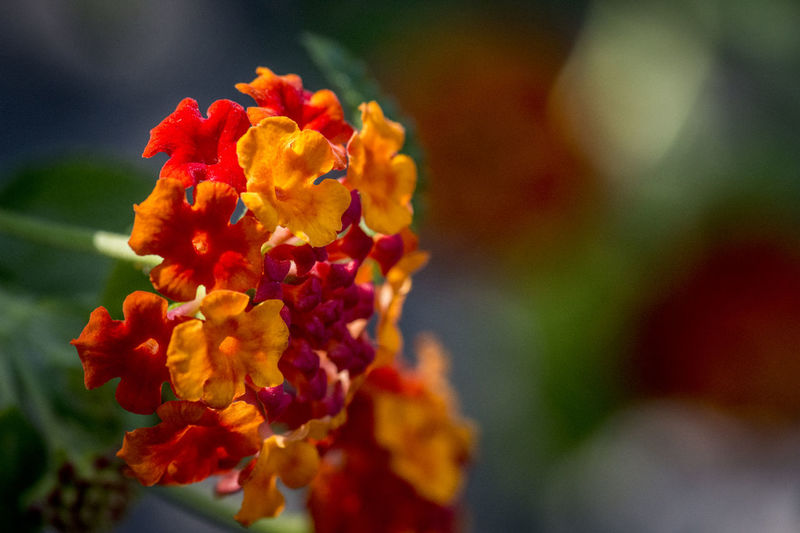 Real Jardín Botánico de Madrid Beauty In Nature Blooming Bokeh Bokeh Photography Close-up Day Flower Flower Head Focus On Foreground Fragility Freshness Growth Lantana Camara Nature No People Orange Color Outdoors Petal Plant