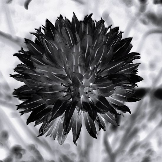 Black & White Flower No People Close-up Outdoors Flower Head Fragility