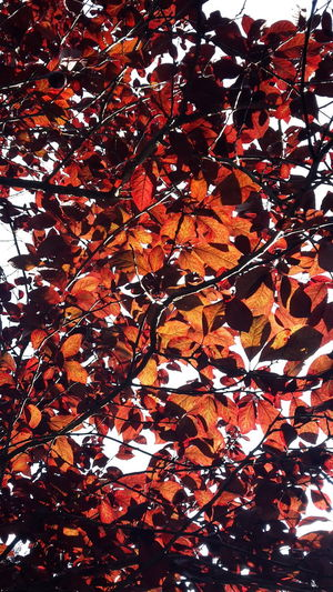 Beautiful Nature Wild Plum Leaves Orange And Red Tree Red Plum Tree Plant Photography Burning In The Sun